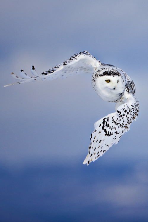 Snowy Owl (Bubo scandiacus) St. Lawrence River Delta, Canada